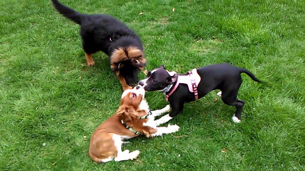 socializzare cucciolo como, addestratore cani como, addestratore cani monza e brianzaanza